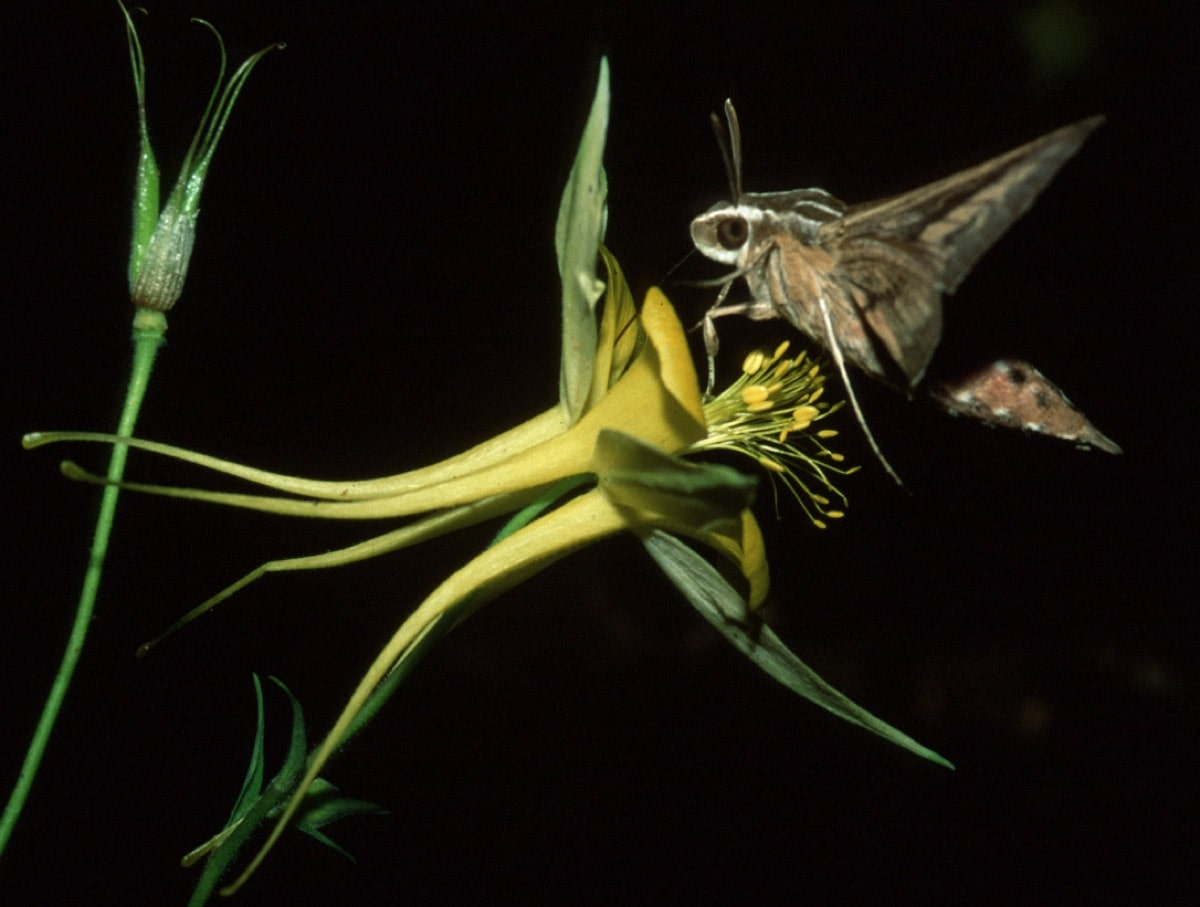 large insect lands on yellow flower against black background