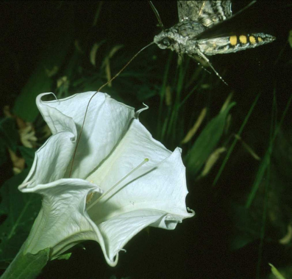 an insect approaches a conical white flower for pollination