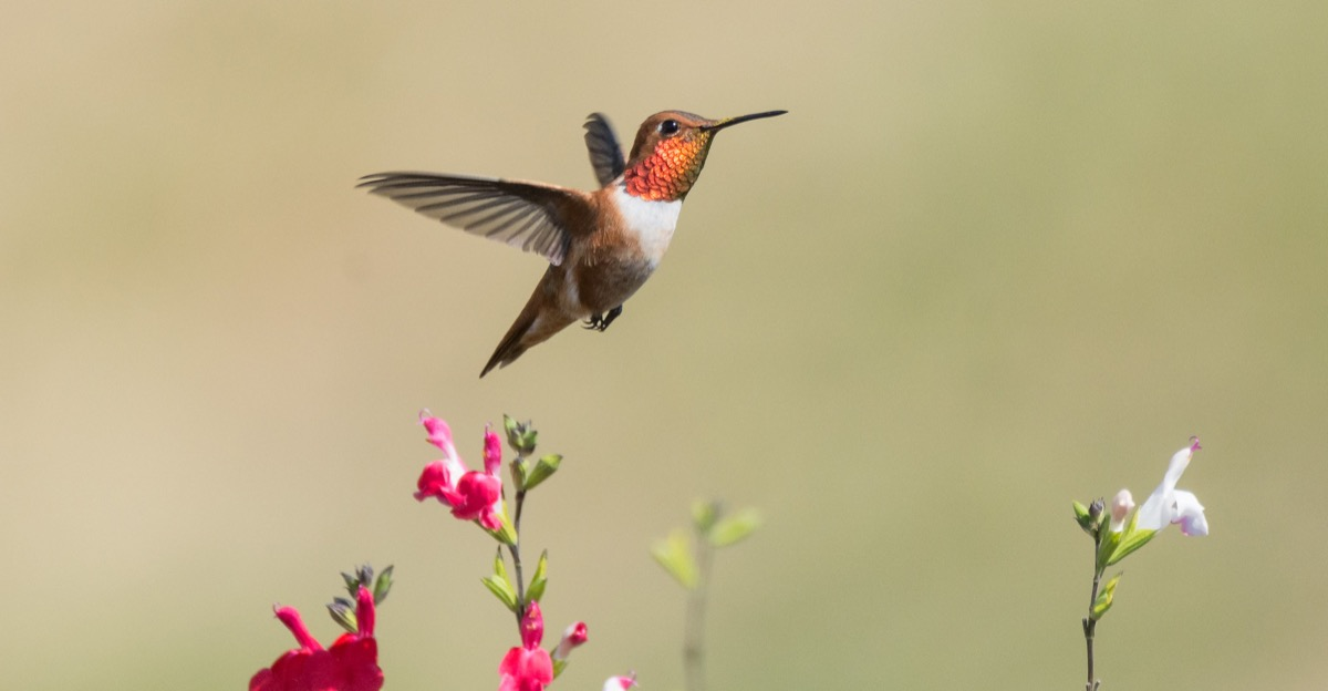 a hummingbird in flight with bright orange plumage around its neck and brown and white wings and body