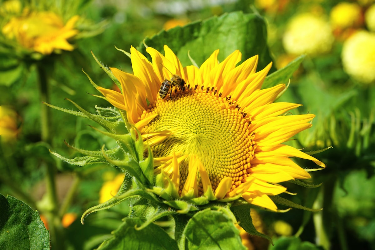 medium-wide shot of a bright yellow sunflower with an insect pollinating it. there are other sunflowers in the background