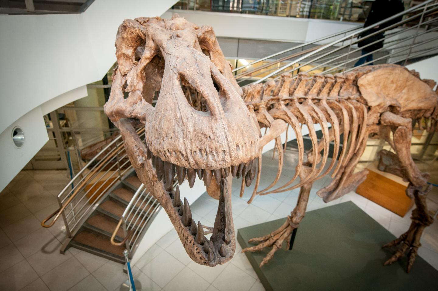 a look from above at a t.rex skeleton in a museum