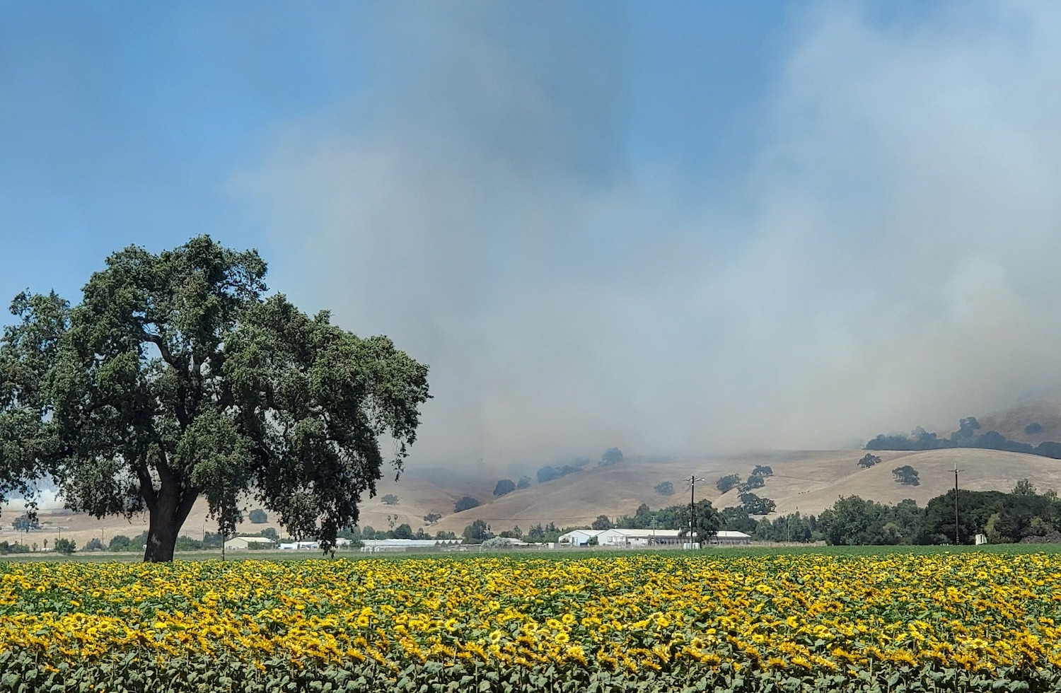 smoke from a fire in the foothills. in the foreground are sunflowers and a tree