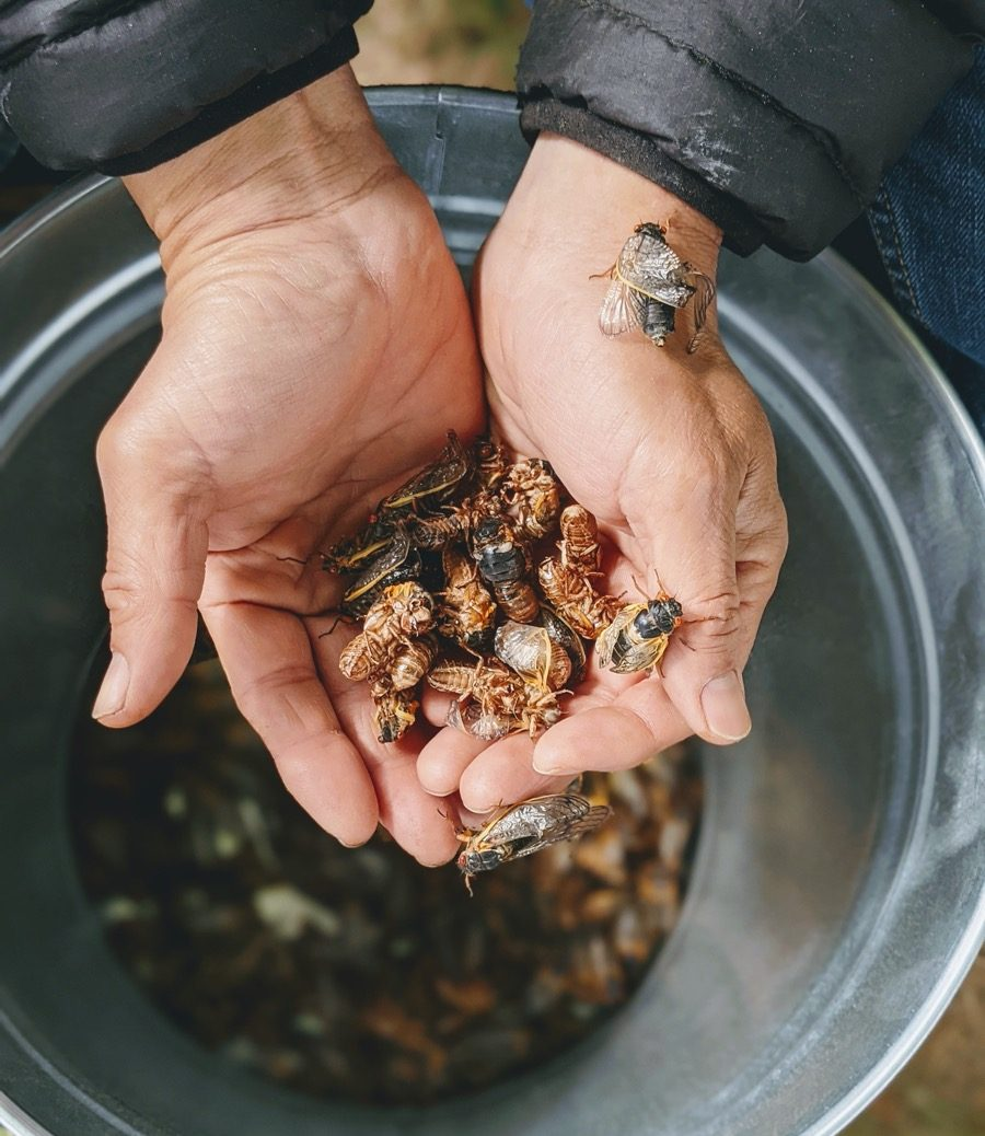 two hands holding a bunch of cicadas from a bucket underneath