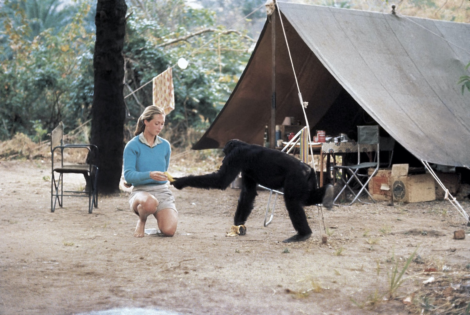 a young woman in a blue sweater kneels as a chimp holds out a hand to her
