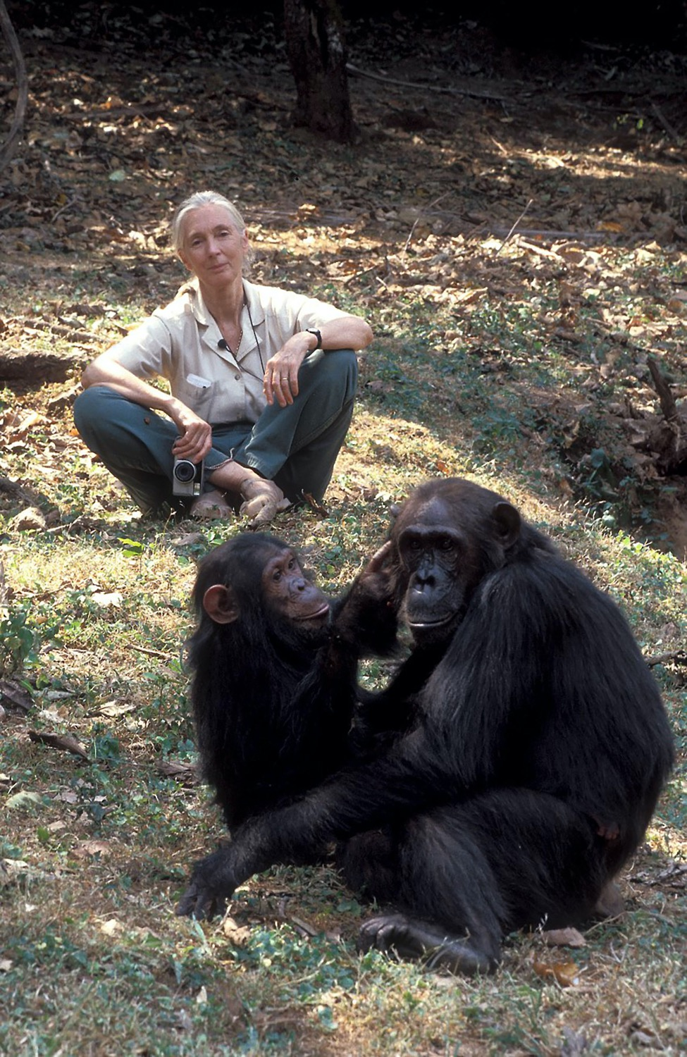 an older woman sits crossed legged looking at two chimps interacting