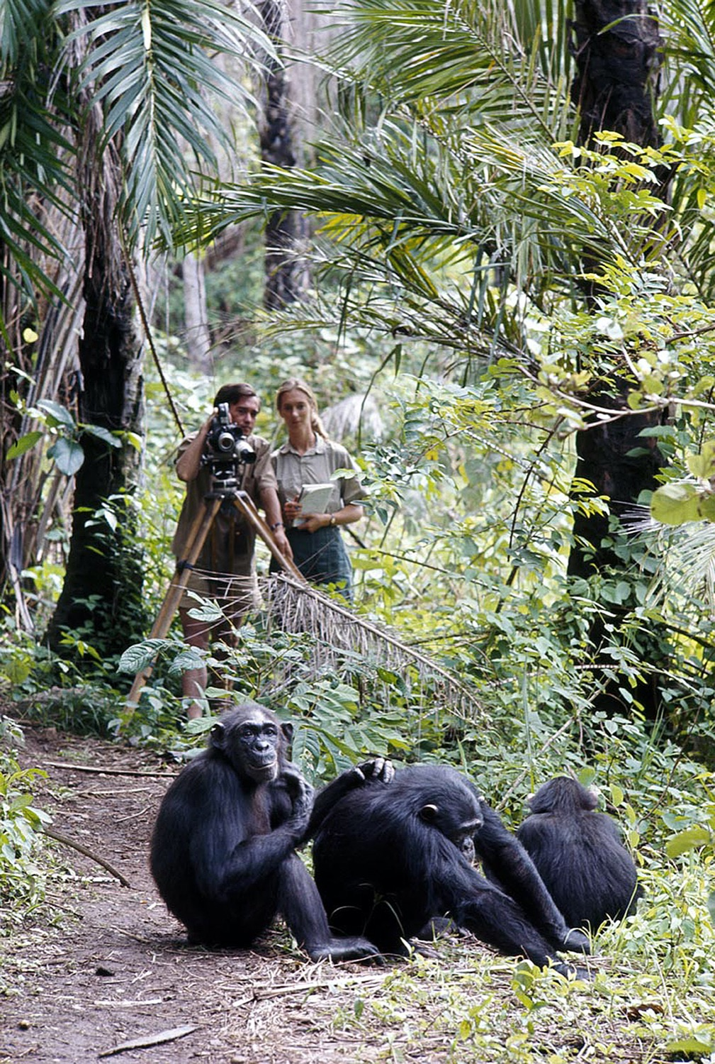 two researcher, a man and woman, observe and film a group of chimps in the jungle from afar