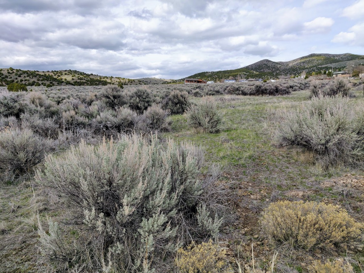 a focus on an unruly green shrub with lots of angled branches looking out at a patched field of more of the same plants on rolling hills. the sky is gray and cloudy