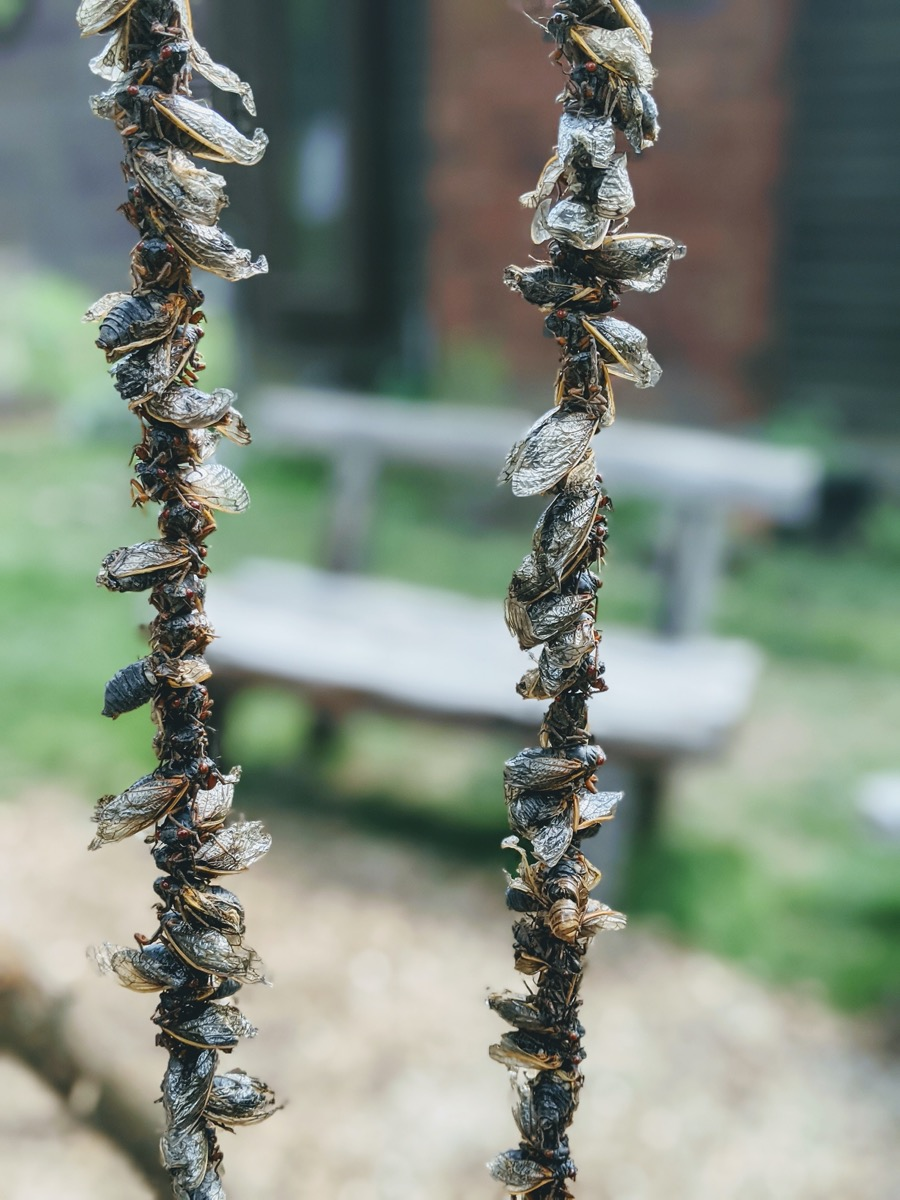 two strings of cicadas smoking over a fire pit