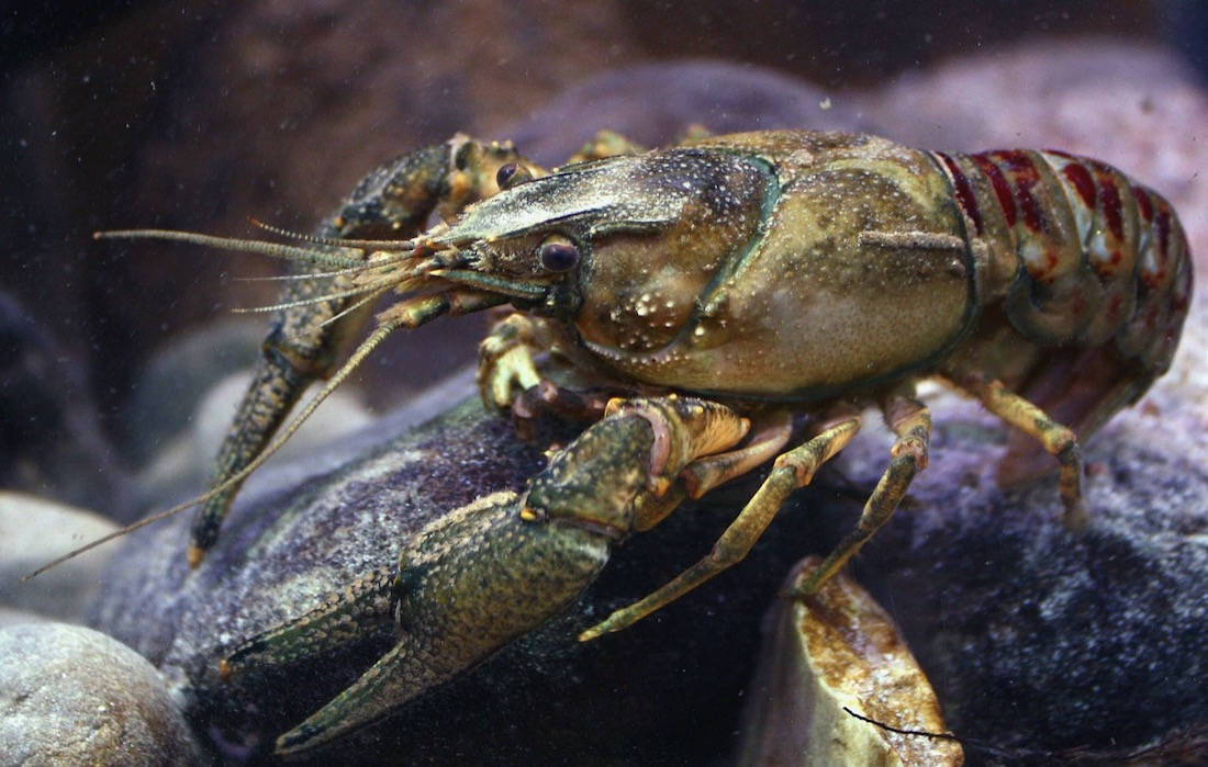 close up photo of a grayish-blueish and bug-like crayfish sitting on a rock, likely underwater