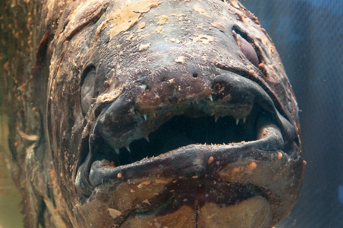 close up shot of an ancient-looking fish with an open mouth and mottled scales