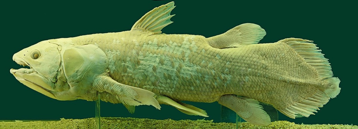 long preserved specimen on an ancient-looking and yellowish coelacanth against a dark background