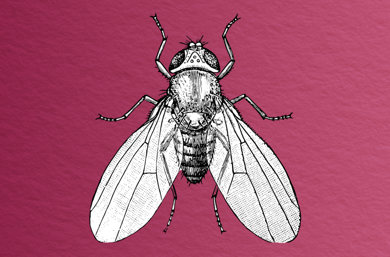 black and white sketch of aerial view of fruit fly with wings spread against a wine-colored, paper-textured background