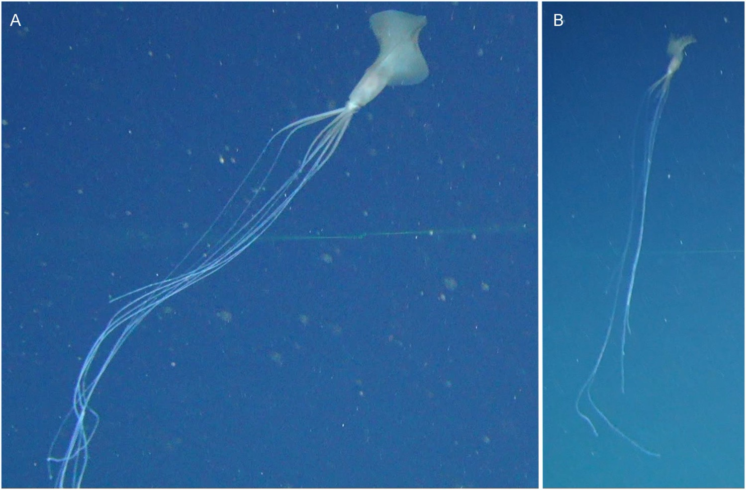 two photos side by side of squid showing extremely long thread like arms and tentacles