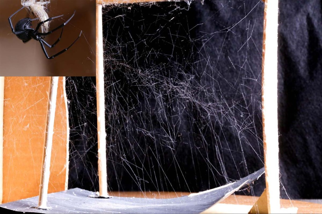 a cobweb of a black widow spider in a small space with vertical anchors; a close-up image of a black widow spider in the top left corner