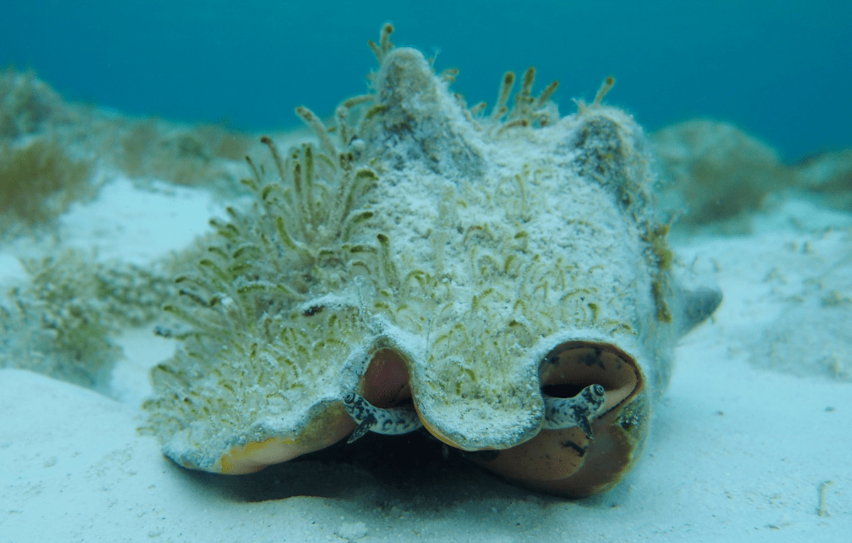 a large shelled marine creature alive living on the bottom of an ocean floor