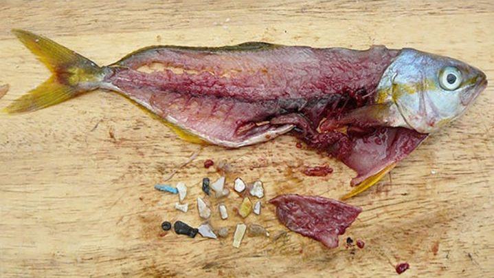 A dissected Rainbow Runner fish with 18 small pieces of plastic, called microplastic, from its stomach shown.