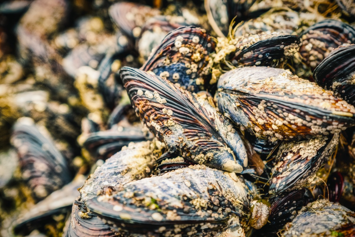 a closeup picture of mussels on a rock