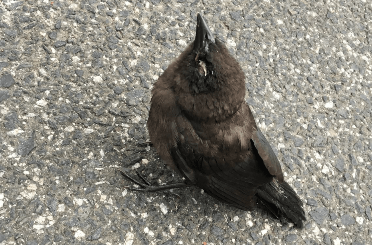 a closeup of a small black bird on the ground with white crustiness around its eyes