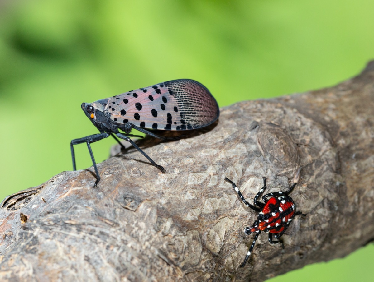 a close up of two bugs on a branch. one is the larger adult version and has wings with black spots. the other bug does not have wings and has red and white spots