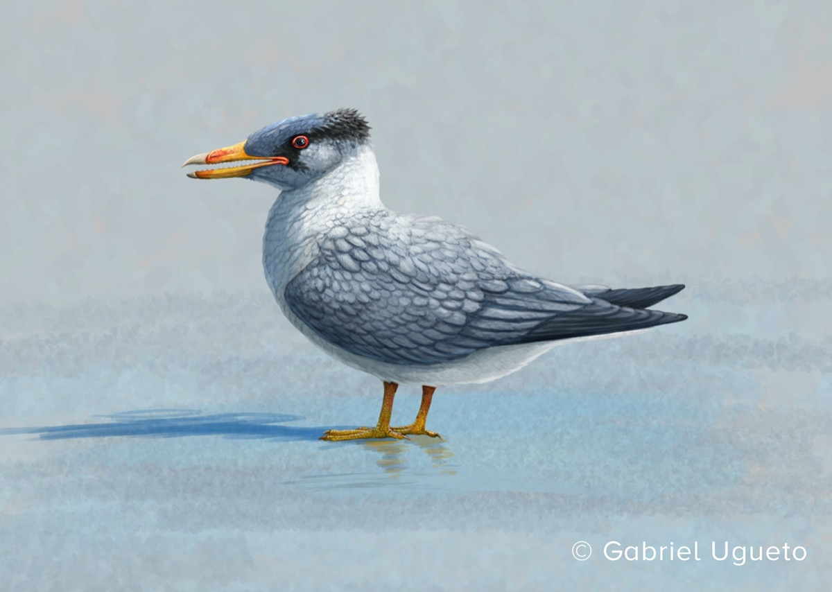 an illustration of a bird with a pointed beak and gray and white plumage.