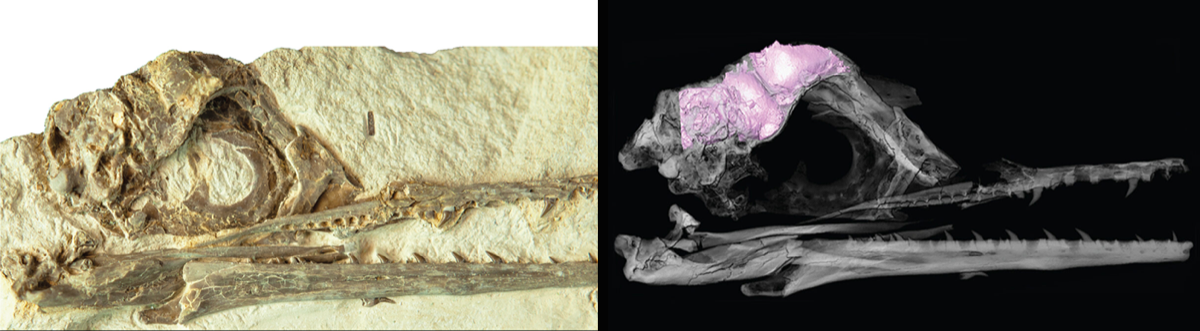 two images, on the left a scan of a bird skull that reveals a pink 3d shape of its brain. on the right, a fossil of a bird skull