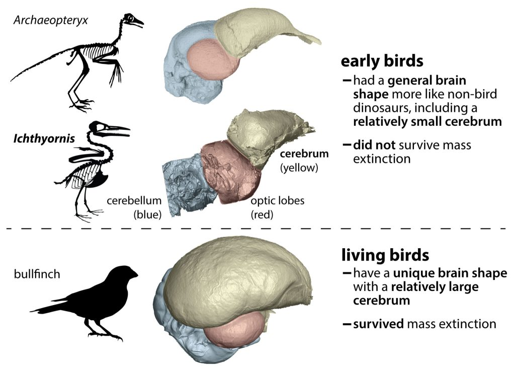 a diagram showing illustrated shadowed skeletons of two early birds and a bullfinch modern living bird. in the middle