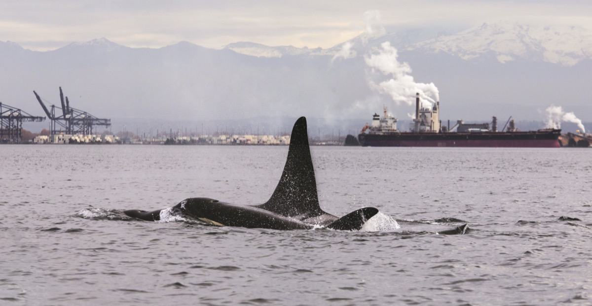 an orca's fin can be seen on the surface of a bay that is surrounded by industry and smoke stacks