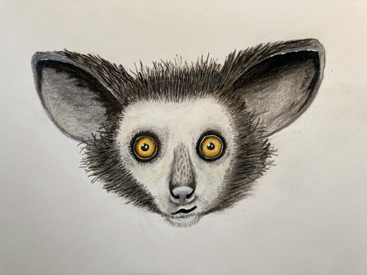 a hand drawn colored illustration of an aye-aye, which has large light brown eyes and small pupils, as well as large pointed ears