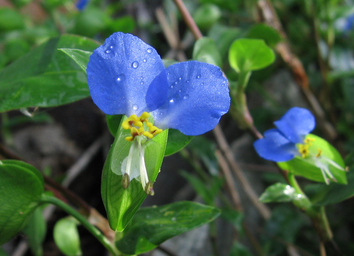a flower with two bright blue round petals and a small curling white petal. with foliage and stalks in the background