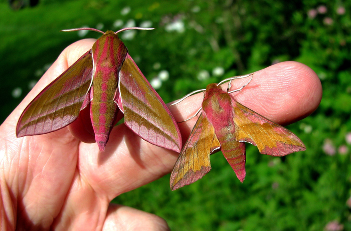 two large pink and tan moths clinging to someone's fingers