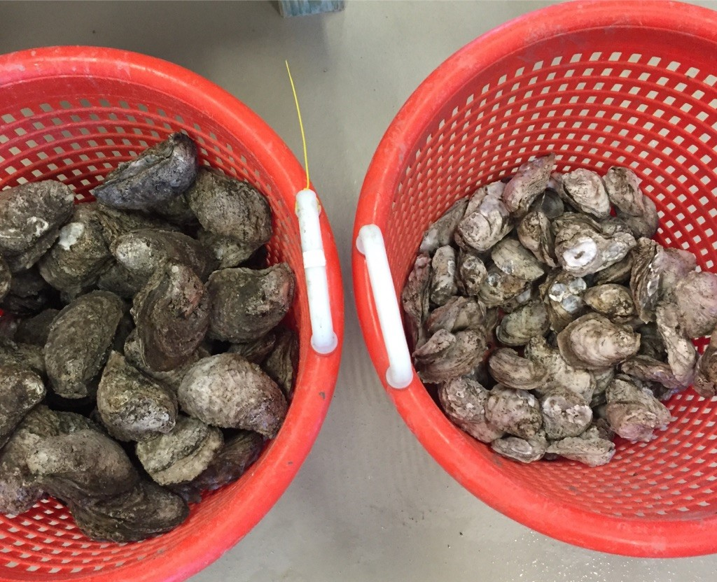 two buckets of oysters. on the left the oysters are larger and darker color