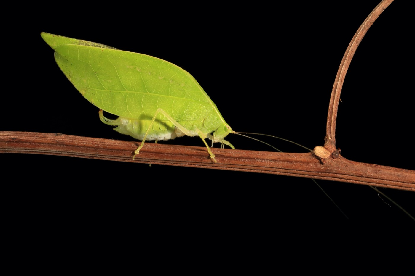 a large bright green insect that looks like a leaf