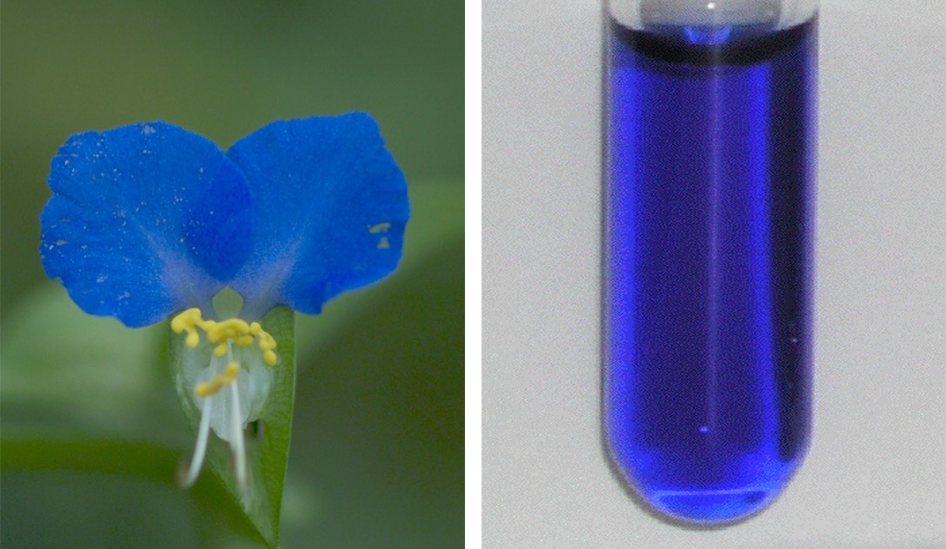 two images. on the left is a closeup of a flower with two bright blue mouse-eared shape petals and a small white curled petal beneath. on the right is a vial of bright blue liquid
