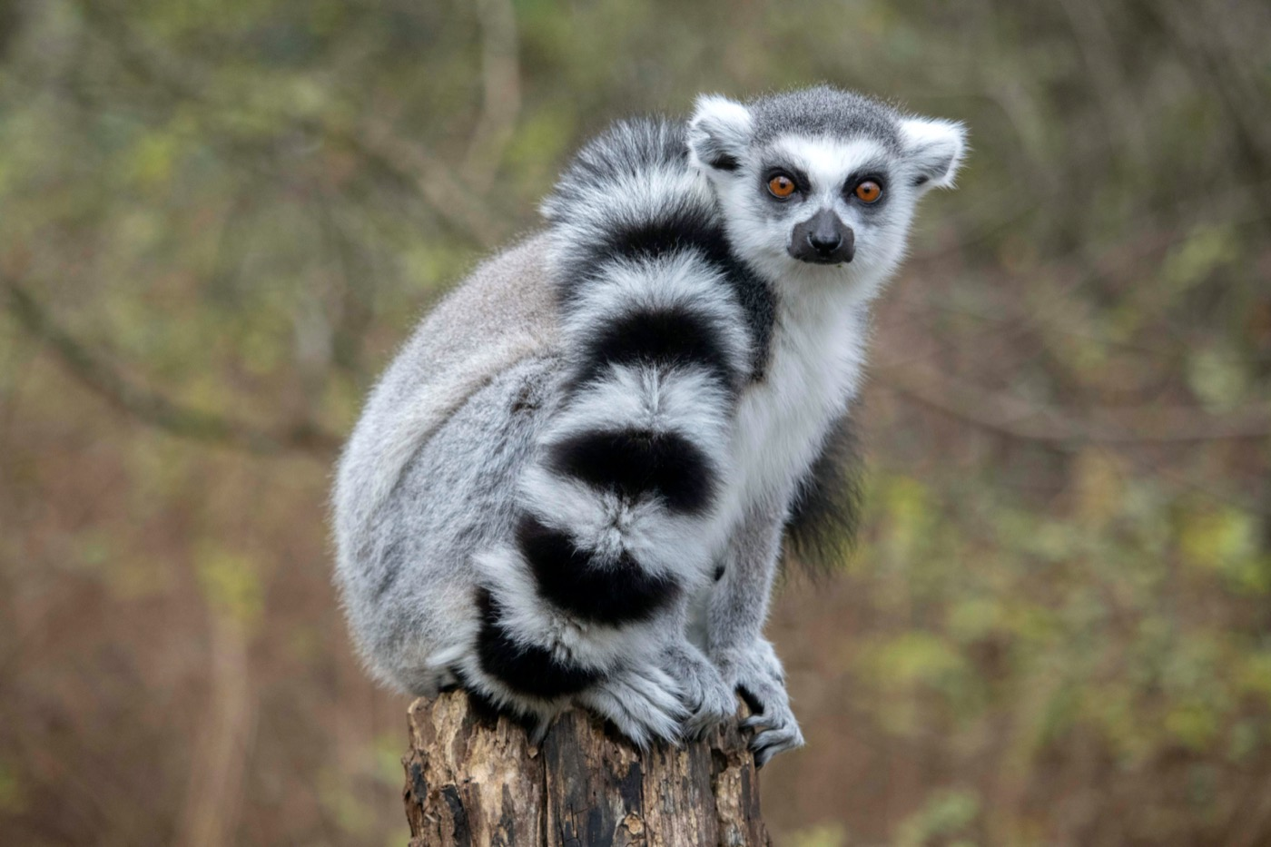 lemur sitting on a branch with its tail wrapped around itself, looking at camera with wide eyes